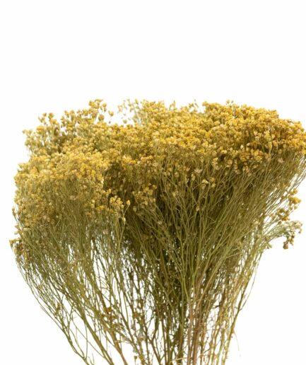 Trockenblume Broom Bloom natur
