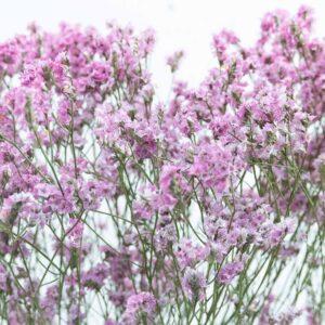 Trockenblume Limonium fuchsia