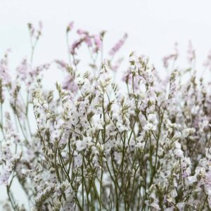 Trockenblume Limonium pink