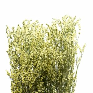 Trockenblume Limonium gelb