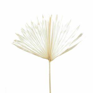 Trockenblume Palm Sun Cut weiss