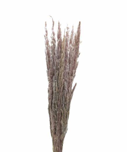 Trockenblume Pampasgras Erianthus natur