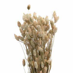Trockenblume Phalaris natur
