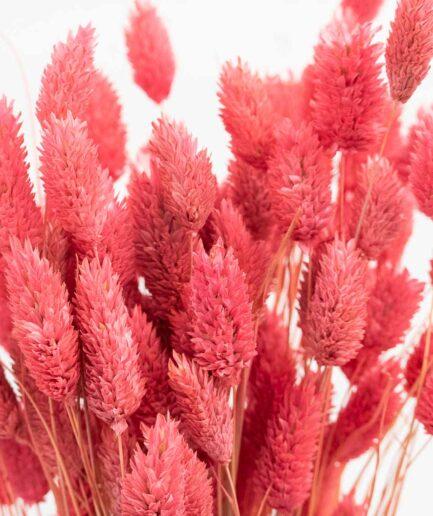 Trockenblume Phalaris pink