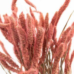Trockenblume Setaria altrosa