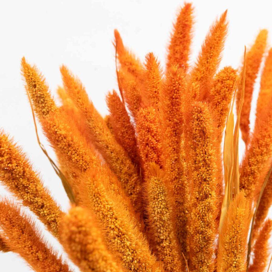 Trockenblume Setaria orange