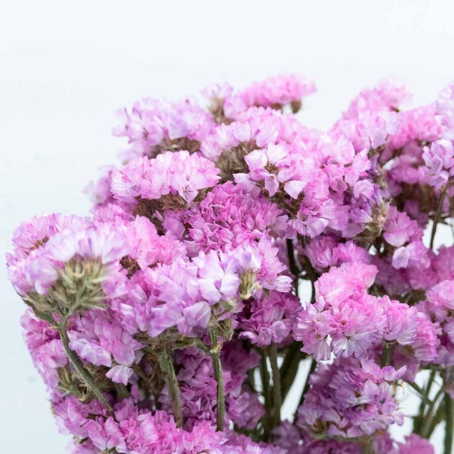 Trockenblume Statice hell pink