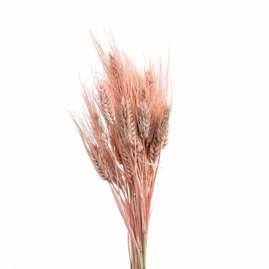 Trockenblume Triticum hell pink