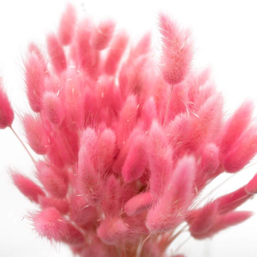 Trockenblume Lagurus pink detail
