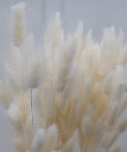 Trockenblume Lagurus weiss detail