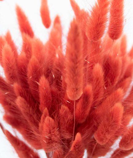 Trockenblume Lagurus dunkel-orange detail
