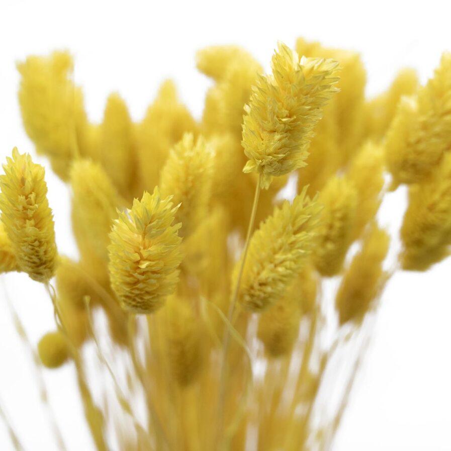 Trockenblume Phalaris gelb detail