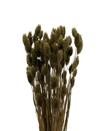 Trockenblume Phalaris moos grün
