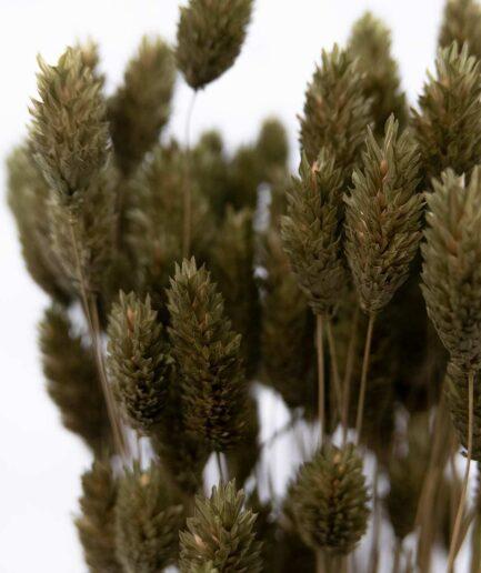 Trockenblume Phalaris moos grün detail
