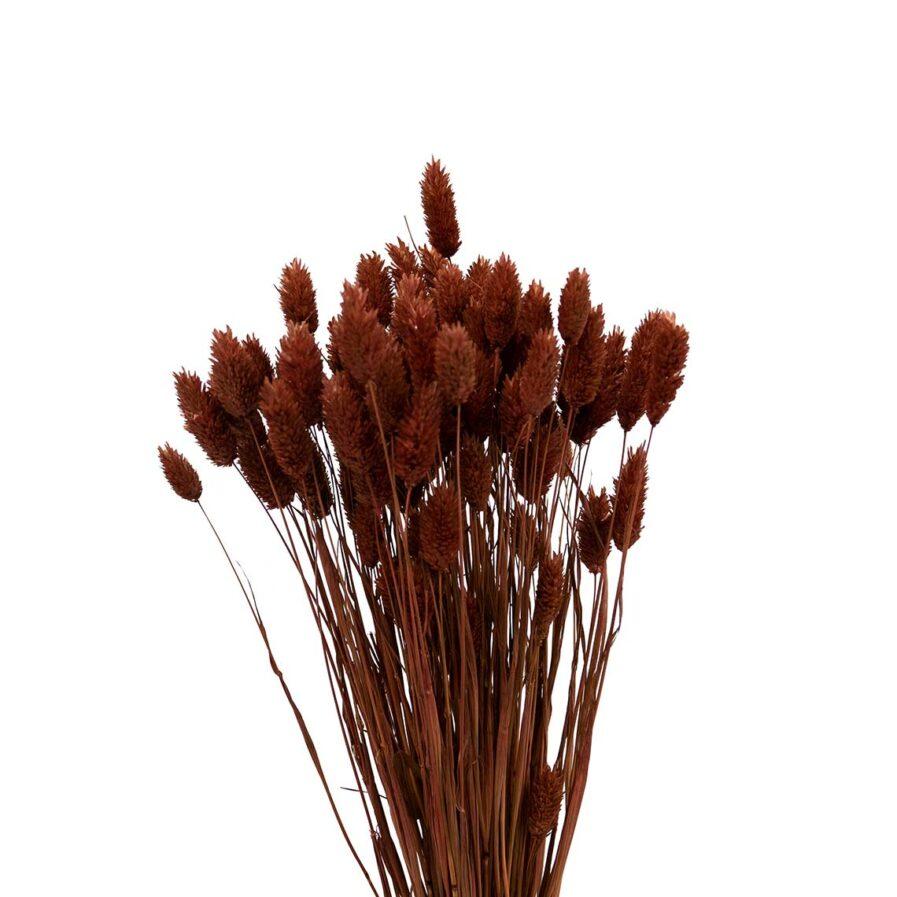 Trockenblume Phalaris braun