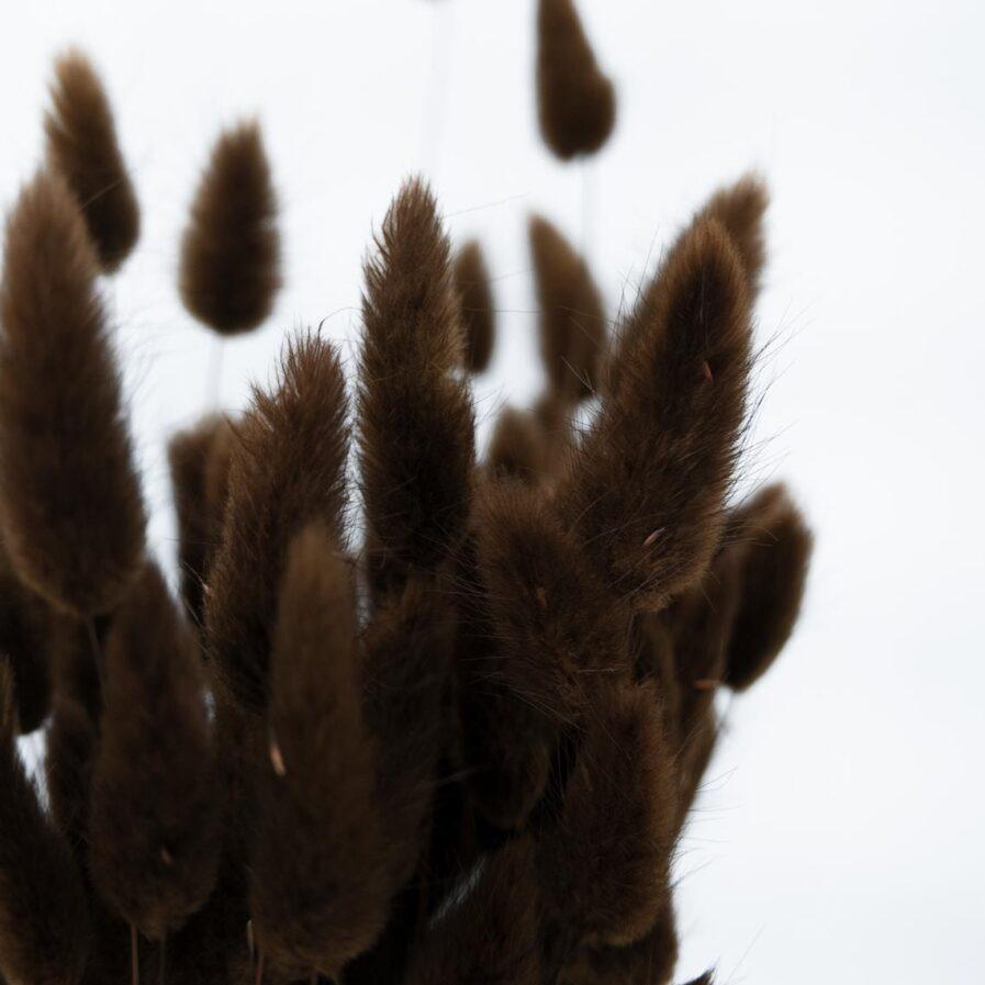 Trockenblume Lagurus braun detail