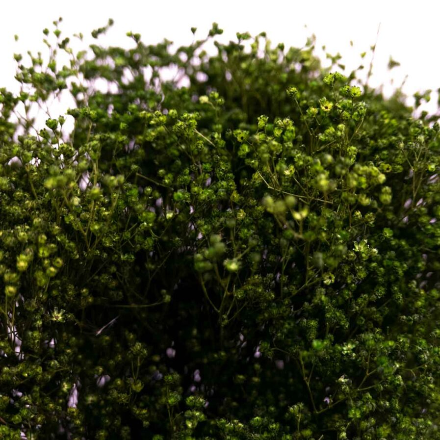 Trockenblume Broom Bloom grün detail