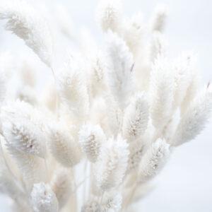 Trockenblume Phalaris weiss detail