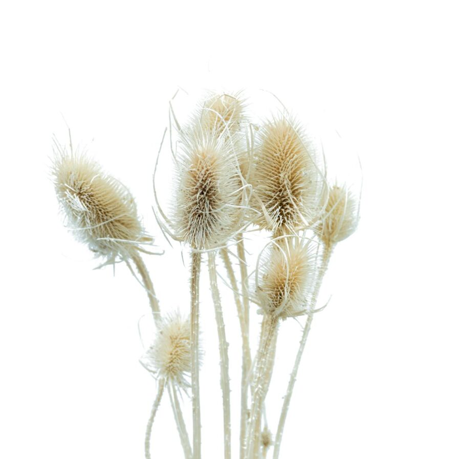 Trockenblume Cardi natur