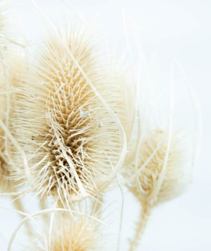 Trockenblume Cardi natur detail
