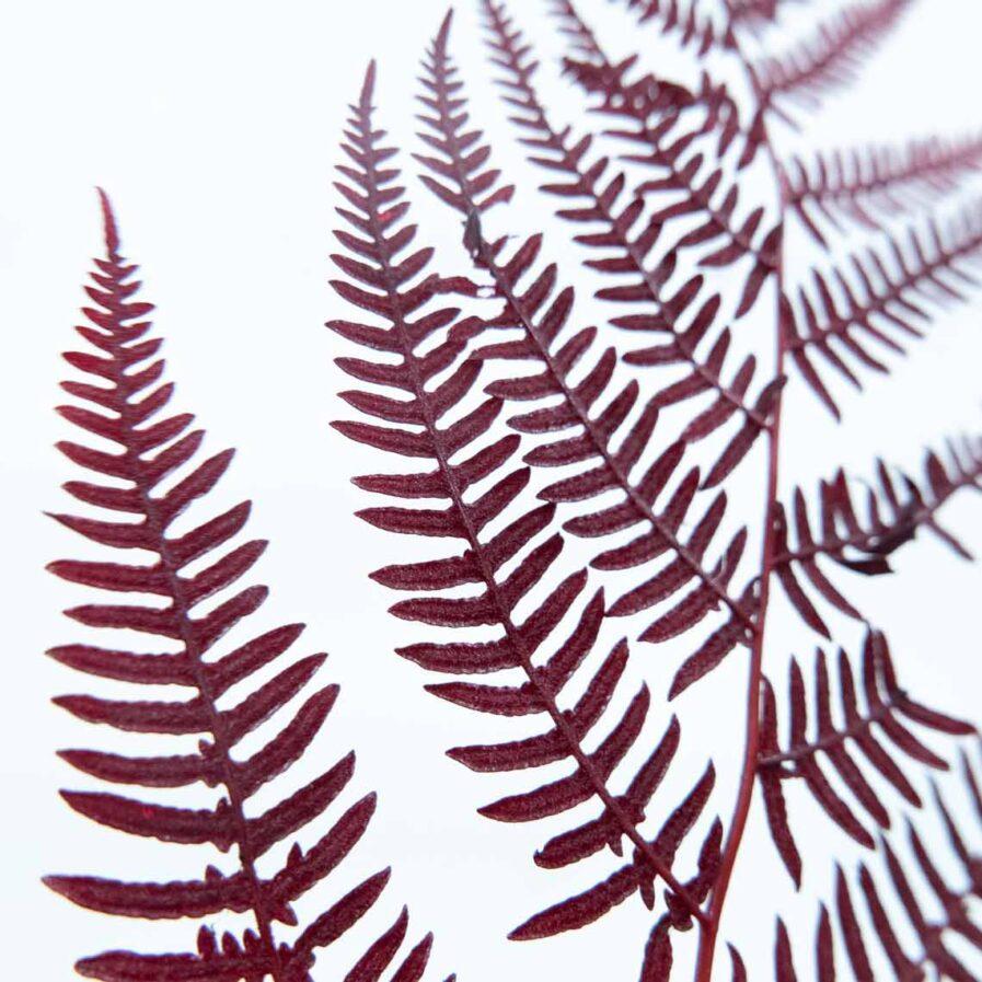 Trockenblume Fern bordeaux detail