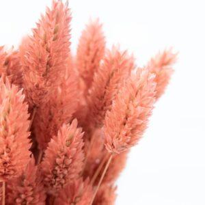 Trockenblume Phalaris lachs detail