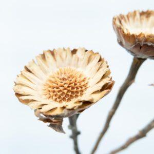 Trockenblume Protea natur detail