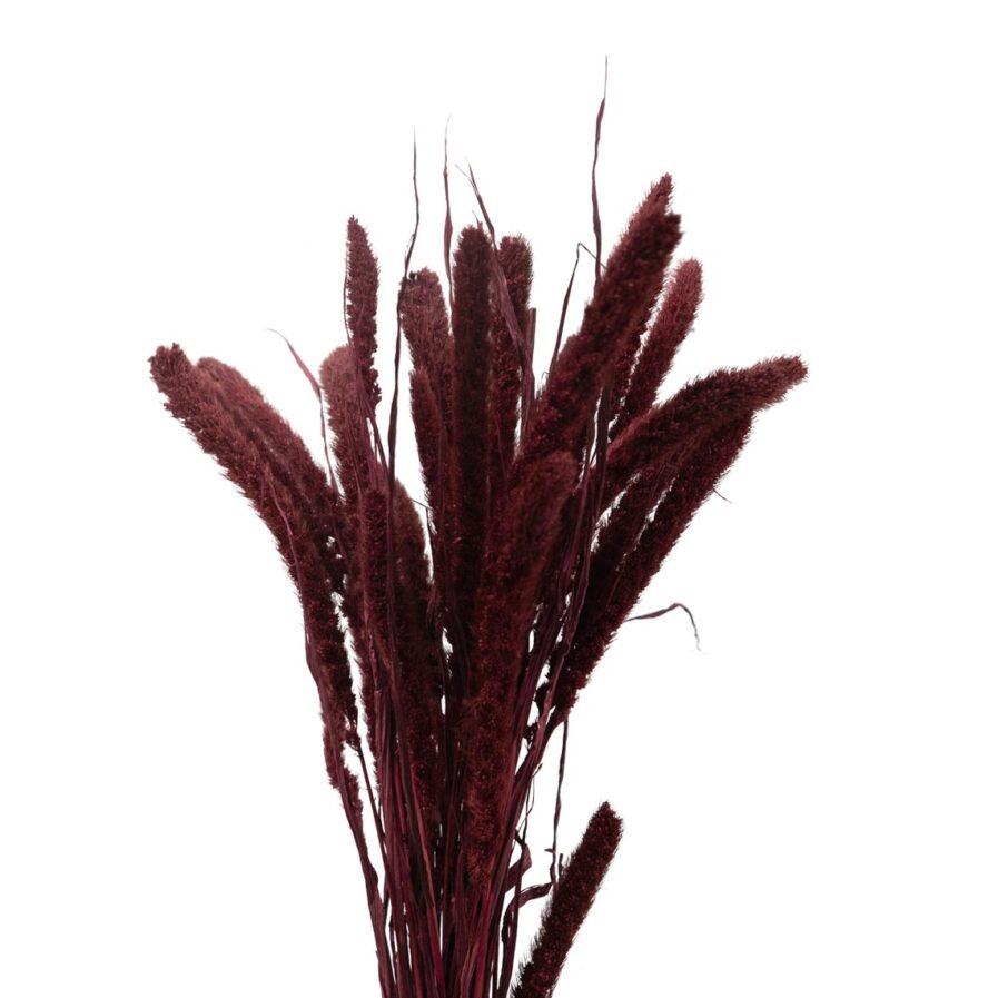 Trockenblume Setaria bordeaux