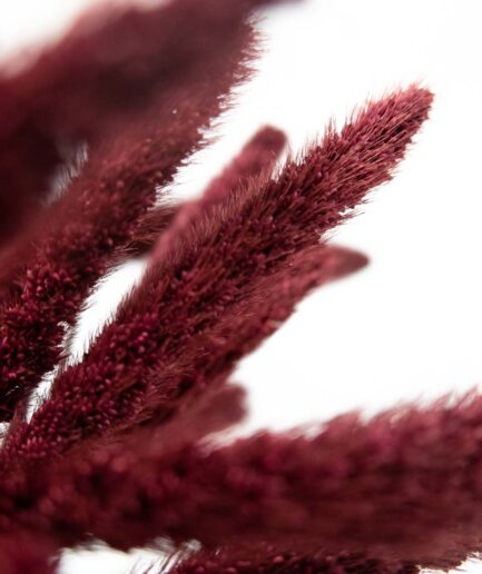 Trockenblume Setaria bordeaux detail