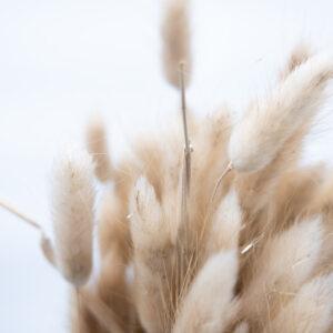 Trockenblume Lagurus natur detail